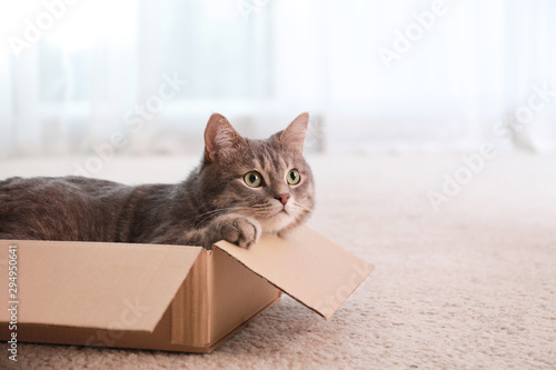 Fotografia, Obraz Cute grey tabby cat in cardboard box on floor at home