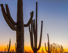 Saguaro Sunset. Silhouette Of ...