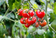 Organic Tomato Plant, Red And Green Tomatoes