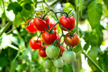 Organic Tomato Plant, Red And ...