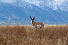 Pronghorn Antelope Buck In Autumn