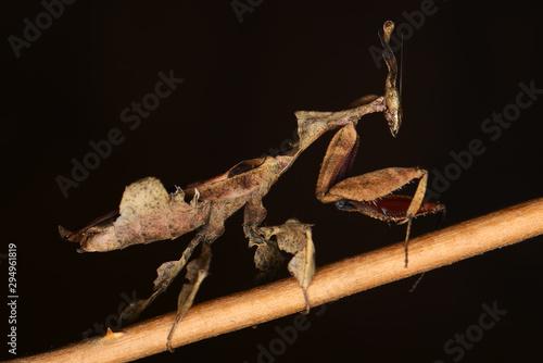 Fototapeta  Ghost mantis in the dark