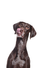 Hungry Pointer Dog Vertical Po...