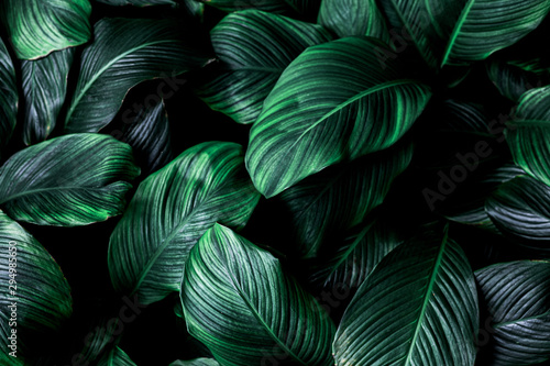Foto auf Gartenposter Baume leaves of Spathiphyllum cannifolium, abstract green texture, nature background, tropical leaf