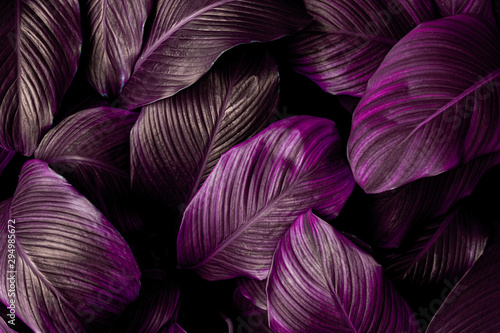 Spoed Fotobehang Bloemen leaves of Spathiphyllum cannifolium, abstract purple texture, nature background, tropical leaf