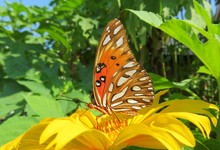 Beautiful Gulf Fritillary Butterfly On Yellow Flower