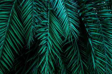 Fototapeta Liście closeup tropical green palm leaves nature in the garden and dark tone background concept