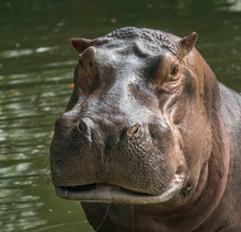 Wild Predator Hippo In The Zoo.