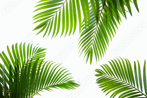 Obraz tropical coconut leaf isolated on white background, summer background - fototapety do salonu