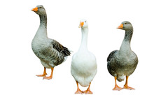 3 Big Healthy Gray And White Geese On White Background