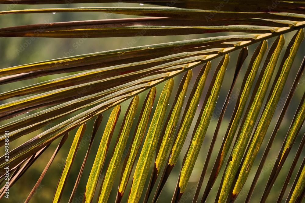 Fototapety, obrazy: Raindrops on coconut palm leaf