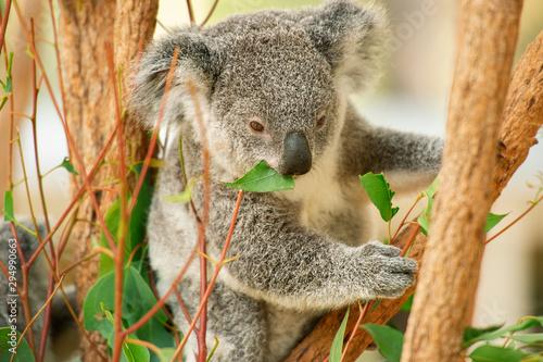 Photo Stands Koala Cute Australian koala joey resting in a eucalyptus tree.