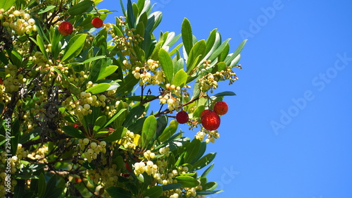 Fotografiet Fruits and bell-shaped white flowers on arbutus evergreen tree against blue sky background close up