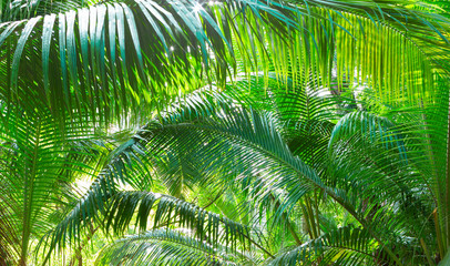 Panel Szklany Drzewa Green background with natural tropical palm leaves. Tropical lush foliage in jungle.