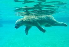 Polar Bear Swims Under Water.  Polar Bears Dive Well And Swim Well Underwater. Swimming Bear Develops A Speed Of 5-6 Km/h, Diving, He Can Stay Under Water For About Two Minutes.