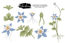 Sketch Floral Botany Collection.  Columbine Flower (Aquilegia Chrysantha) Drawings. Beautiful Line Art On White Backgrounds. Hand Drawn Botanical Illustrations. Nature Vector.