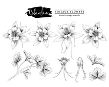 Sketch Floral Botany Collection. Columbine Flower (Aquilegia Chrysantha) Drawings. Black And White With Line Art On White Backgrounds. Hand Drawn Botanical Illustrations. Nature Vector.