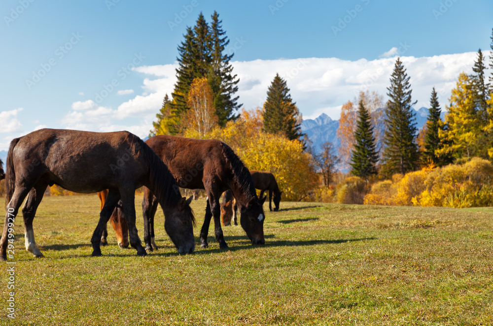 Fototapeta Brown horses graze in the meadow on a warm autumn day on the background of a yellowed forest. Beautiful rural landscape