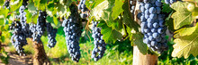 A Panorama Of Wine Grapes At A Vineyard Right Before The Autumn Harvest, Selective Focus