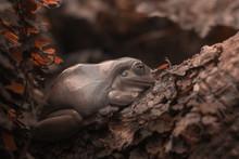 Gray Tree Frog On Garden Leave...