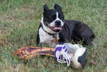 Funny Boston Terrier Guarding ...