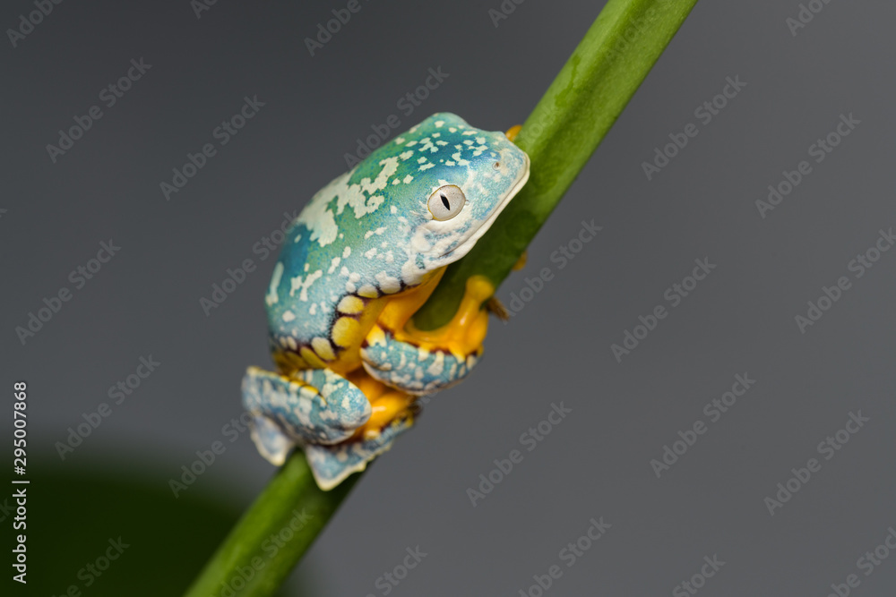 Young fringed leaf frog climbing on a plant