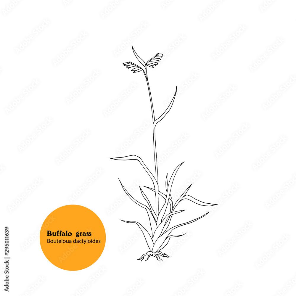 Fototapety, obrazy: Hand drawn illustration of plant Buffalo grass, Bouteloua dactyloides.