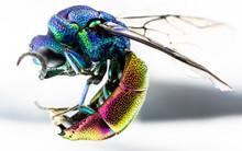 Cuckoo Wasp Or Emerald Wasp