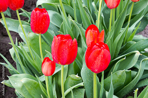closeup of red tulip with rain drops glowing on the flower,