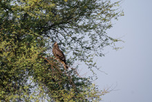 Black Kite Or Milvus Migrans On A Tree At Tal Chhapar, Rajasthan India