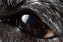 Black Dachshund. Brown Eye Of ...