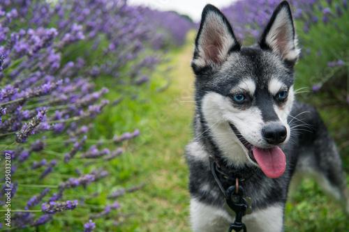 Fotografiet Alaskan Klee Kai watches bees at Lavender Field