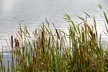 Autumn Bulrush On The Lake