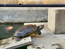 Turtle In A City Park