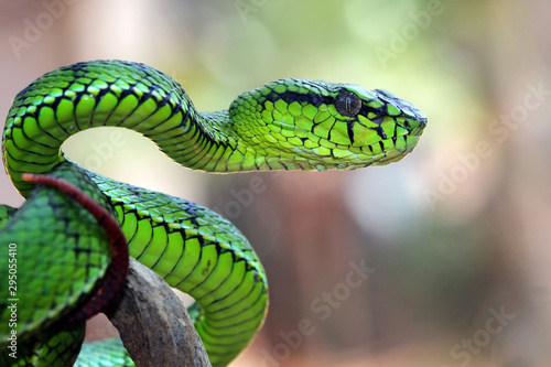 Pinturas sobre lienzo  Green viper snake position attack on branch, animal closeup