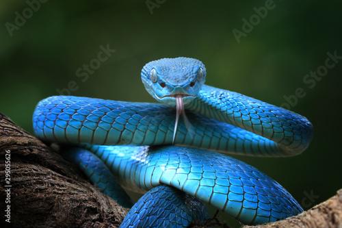 Blue viper snake closeup face, viper snake, blue insularis, Trimeresurus Insular Wallpaper Mural