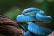 Blue viper snake closeup face, viper snake, blue insularis, Trimeresurus Insularis, animal closeup