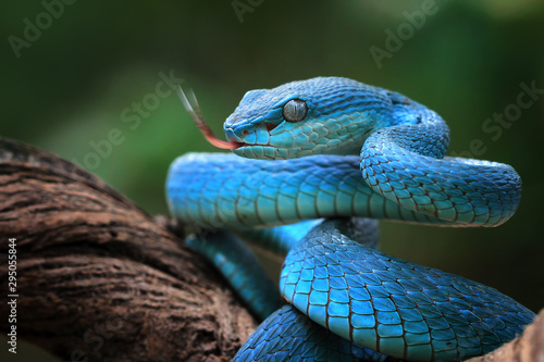 Obraz Blue viper snake closeup face, viper snake, blue insularis, Trimeresurus Insularis, animal closeup - fototapety do salonu