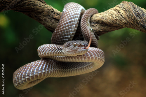 Photo Manggrove pit viper closeup face on branch ready to attack, Trimeresurus purpure