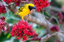 Weaver Bird, Yellow And Black, In A Boerbean Tree