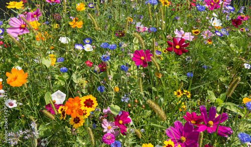 colorful rich flowering meadow in the alps in summer - 295062471