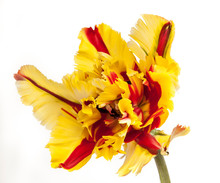 Yellow And Red Parrot Tulip Is...