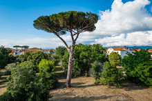 Pinus Pinaster, The Maritime Pine Or Cluster Pine, Is A Pine Native To Mediterranean Region.