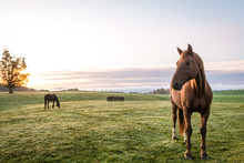 Horses Grazing In Pasture On A...