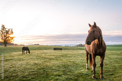 Fototapeta Horses grazing in pasture on a cold morning at sunrise beautiful peaceful landsc