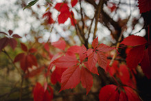 Bright Red Autumn Leaves Of Wi...