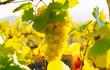 Leinwanddruck Bild - Ripe grapes of a white type  before harvest. Tuscany, Italy.