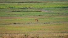 Two Deer Run In The Meadow