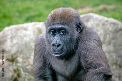 Foto op Aluminium Aap A young female gorilla close up