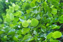 Common Hazel Fresh Green Foliage